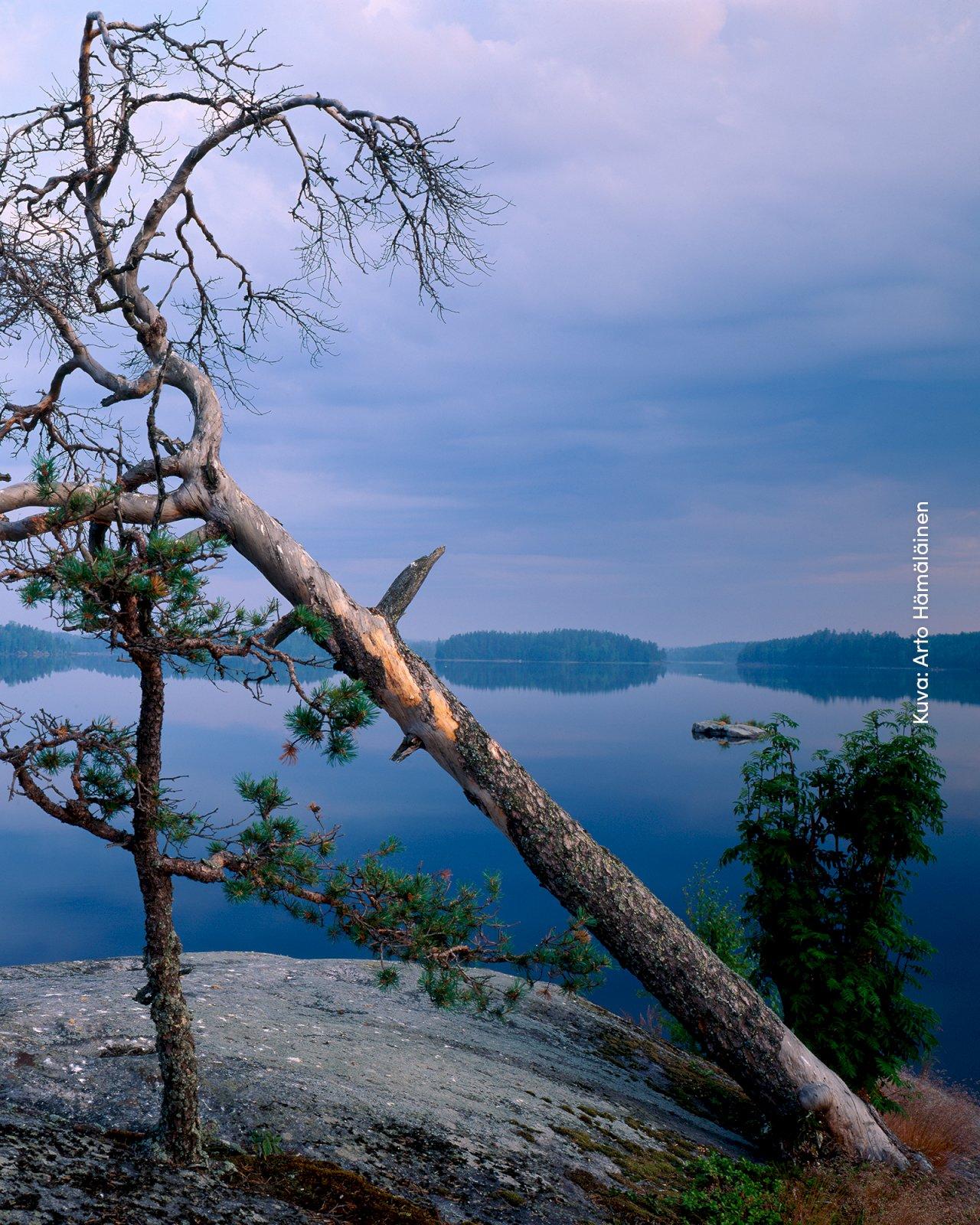 Kaatunut kelomänty järvimaisemassa Saimaan Geoparkissa.