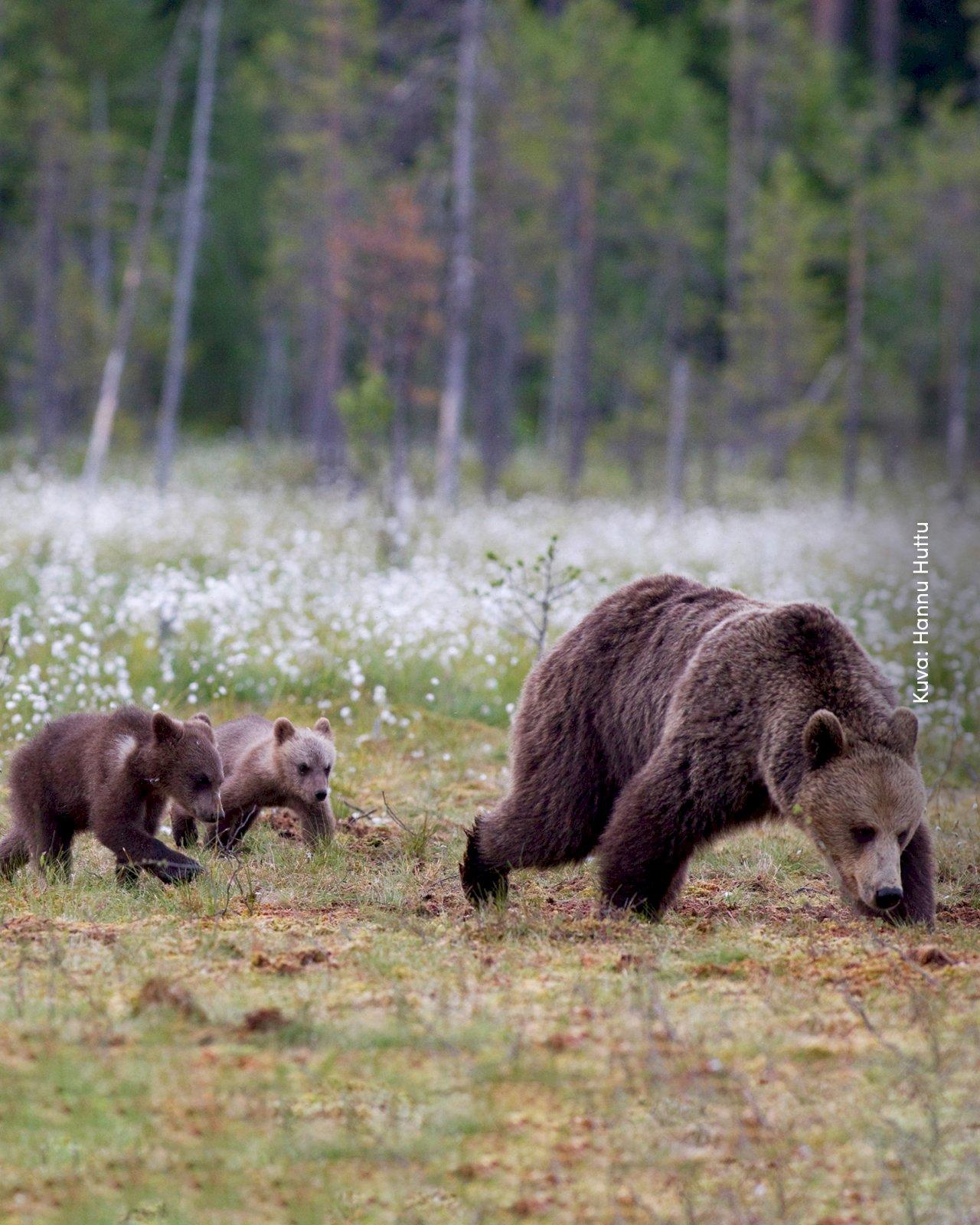 Karhuemo neljän poikasen kanssa Kainuun metsässä.