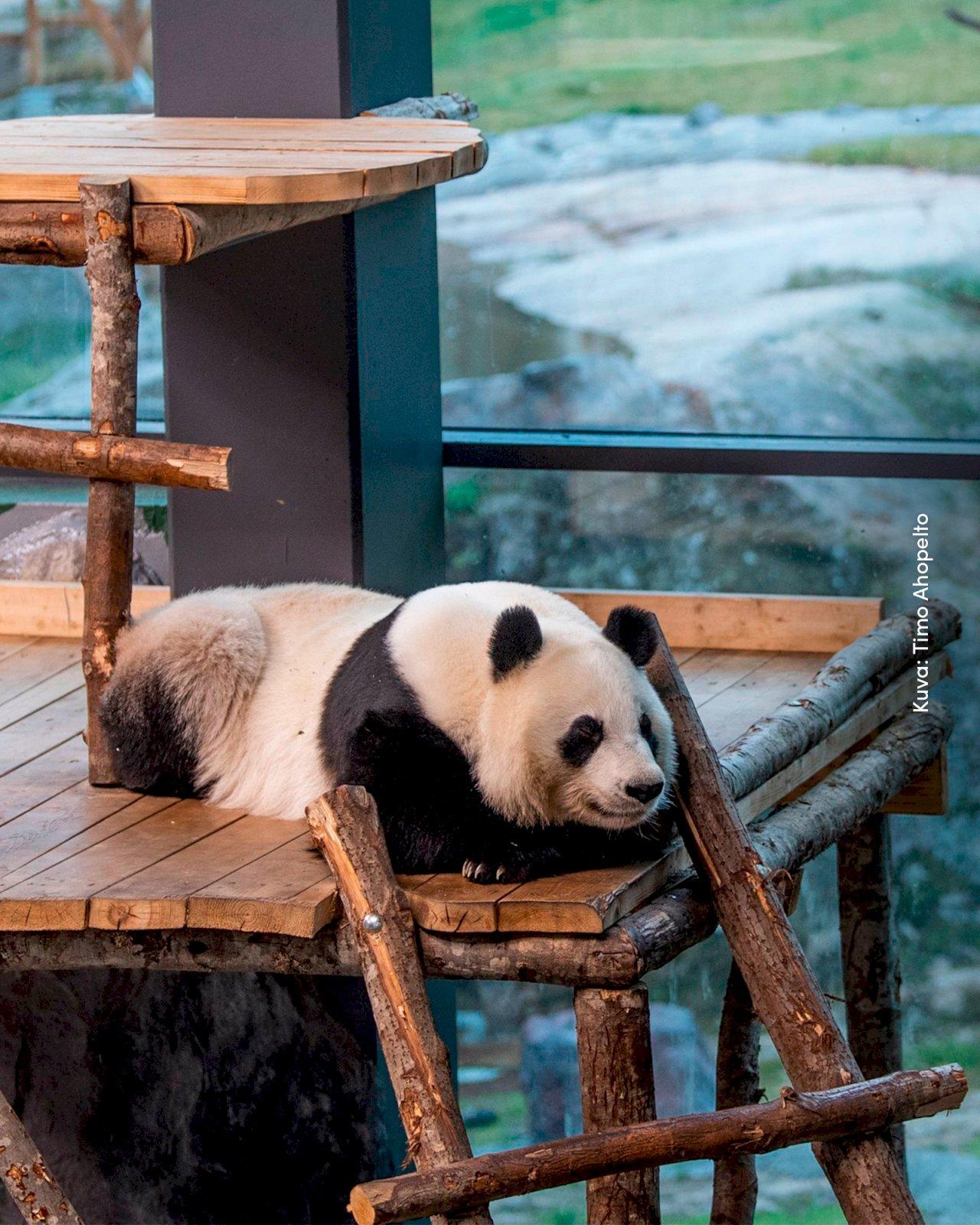Ähtäri Zoon panda makoilee rennosti Pandatalossa.